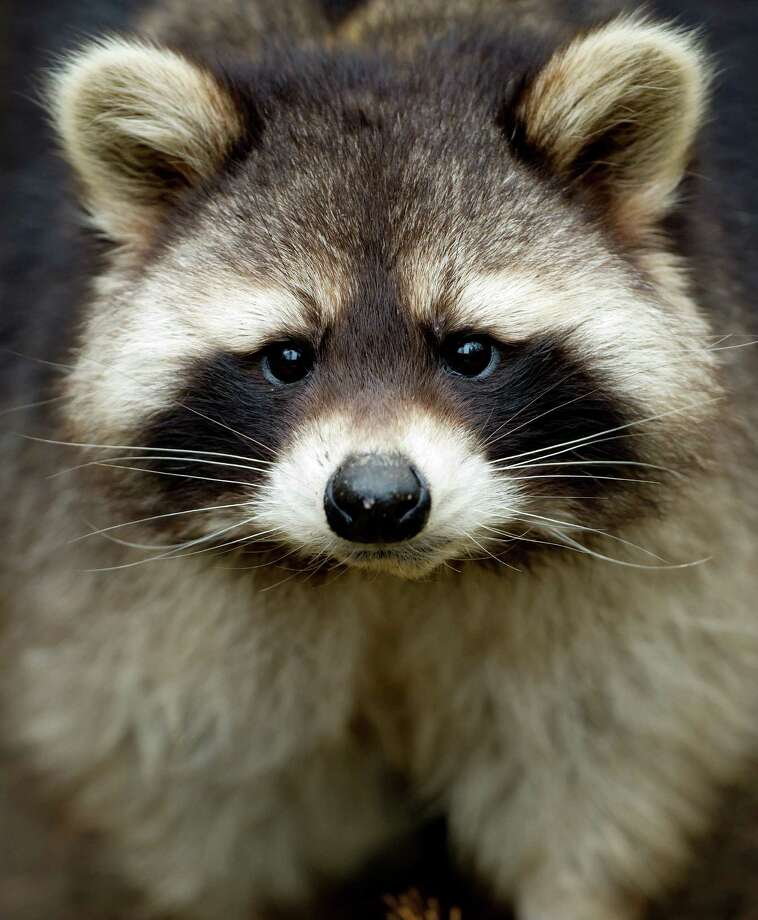 A racoon (Procyon lotor) looks into the camera of the photographer from its compound at an animal park in Hamburg, northern Germany, Thursday, Feb. 28, 2013. Photo: AP