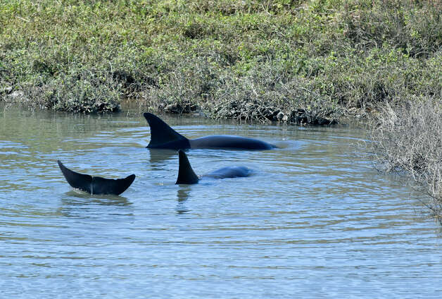 A pair of dolphins make their way into a small cove near the Bolsa Chica Wetlands Interpretive Center in Sunset Beach, Calif. Friday morning, March 1, 2013. A team from the Pacific Marine Mammal Center waded into the water and later got on surfboards to help them swim into deeper and more open water. (AP Photo/The Orange County Register, Sam Gangwer)  Photo: AP