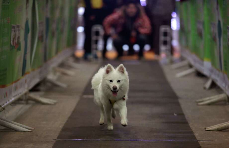 A dog runs at the sprint race at Shanghai Pet Fair on Friday  in Shanghai, China. Photo: AP