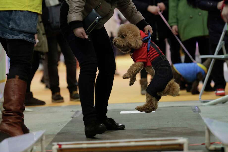 An owner lifts her dog for the obstacle race at Shanghai Pet Fair on Friday  in Shanghai, China. Photo: AP