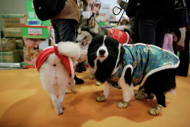 Dogs on the dress depicting Chinese traditional clothing hang out at Shanghai Pet Fair on Friday in Shanghai, China. Photo: AP