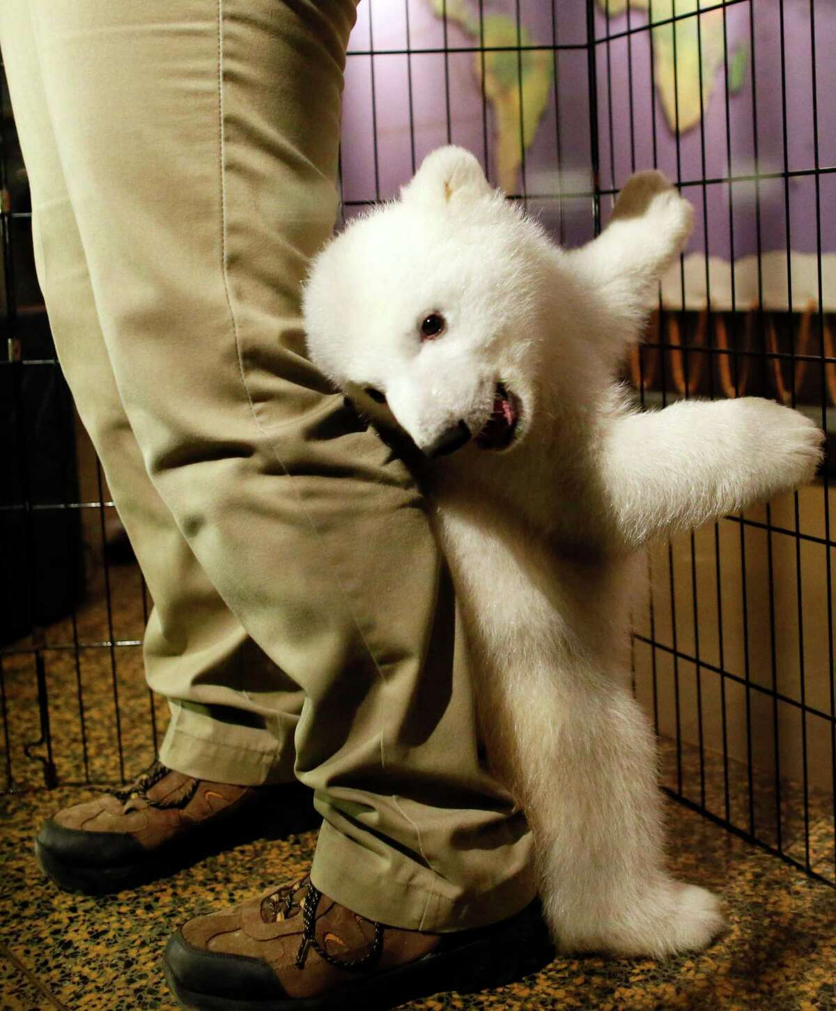 A three-month-old polar bear cub plays around with her keeper as she is introduced to members of the media during an event to launch the