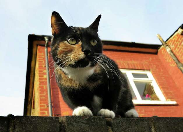 A cat sits on a wall in London, Thursday.  The London zoo is taking stock of an animal you don't often find behind