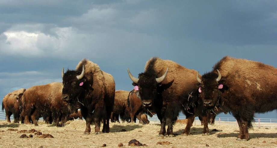 This photo taken April 24, 2012 on the Fort Peck Reservation near Polar, Mont. shows a heard of Bison. The Montana Legislature will consider year-round bison hunting and prohibitions on the animals movements amid a slew of bison-related measures to be tackled during the second half of the legislative session. Photo: AP