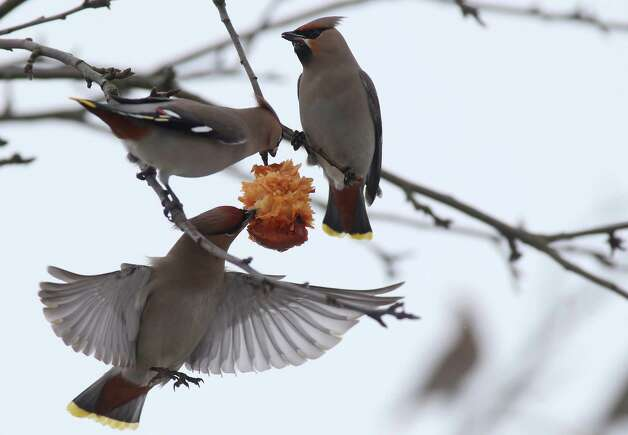 Waxwings peck frozen apple on apple tree in the town of Novogrudok, 93 miles west of Minsk, Belarus, Sunday. Photo: AP