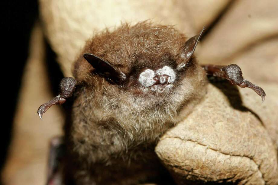 This October 2008 file photo provided by the New York Department of Environmental Conservation shows a little brown bat suffering from white-nose syndrome, with the signature frosting of fungus on its nose, found in a New York cave. The Illinois Department of Conservation said Thursday, Feb. 28, 2013, that the disease that has decimated bat populations in the eastern United States has been detected in four counties in far southern Illinois. Photo: AP