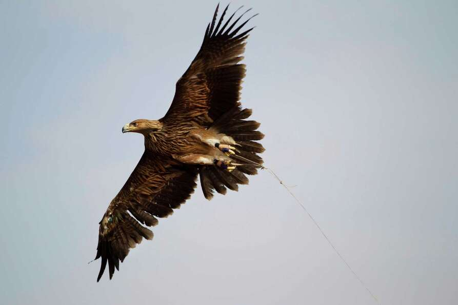 An injured Eastern Imperial Eagle fly's, tethered by a 70 meter long line tied up to its legs in an