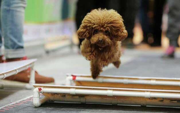 A dog runs at an obstacle race at Shanghai Pet Fair on Friday in Shanghai, China. Photo: AP