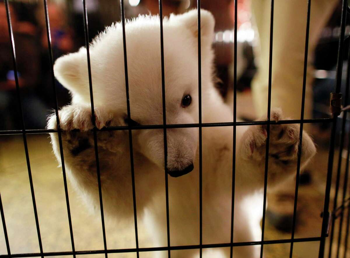 A three-month-old polar bear cub is the center of attention as she is introduced to members of the media during an event to launch the