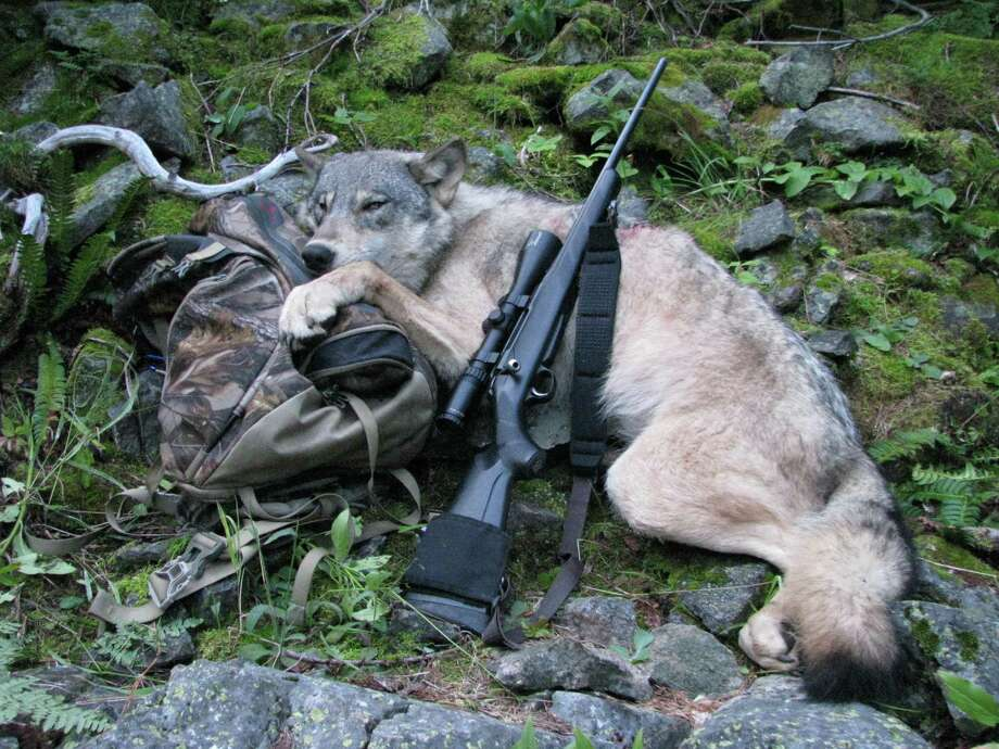 This Sept. 1, 2009 file photo provided by Robert Millage shows his rifle with a wolf he shot on the first day of wolf hunting season along the Lochsa River in Northern Idaho. A temporary court order in Oregon has barred wildlife authorities from killing wolves that attack livestock for the past year. While Oregon has seen wolf attacks on livestock remain static while wolf numbers has risen to 46, Idaho last year saw the numbers of livestock attacks rise dramatically as hunters and wildlife agents killed 422 wolves. Wolf advocates hope tha ccidental experiment will lead other states to reconsider lethal controls as wolves spread through the West. Photo: AP