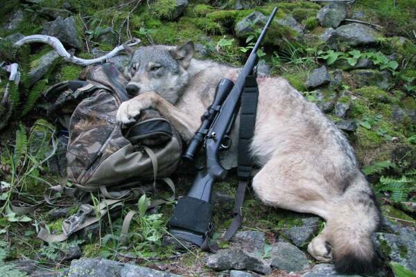This Sept. 1, 2009 file photo provided by Robert Millage shows his rifle with a wolf he shot on the first day of wolf hunting season along the Lochsa River in Northern Idaho. A temporary court order in Oregon has barred wildlife authorities from killing wolves that attack livestock for the past year. While Oregon has seen wolf attacks on livestock remain static while wolf numbers has risen to 46, Idaho last year saw the numbers of livestock attacks rise dramatically as hunters and wildlife agents killed 422 wolves. Wolf advocates hope tha ccidental experiment will lead other states to reconsider lethal controls as wolves spread through the West.