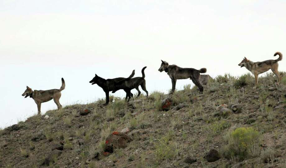 In this August 2012 file photo provided by Wolves of the Rockies, the Lamar Canyon wolf pack moves on a hillside in Yellowstone National Park, Wyo. As the progeny of wolves reintroduced to Yellowstone and central Idaho in 1995 and 1996 spread across the West, an accidental experiment has developed. A temporary court order has made Oregon a wolf-safe zone, where wildlife agents are barred from killing wolves that attack livestock. Over the past year, the numbers of wolves has risen to 46 in Oregon, but livestock attacks have remained static. In neighboring Idaho, the number livestock attacks rose dramatically as the numbers of wolves killed by hunters and wildlife agents also increased. Photo: AP