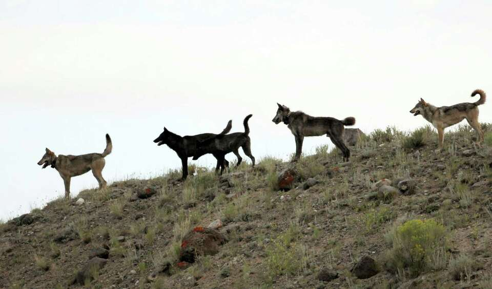 In this August 2012 file photo provided by Wolves of the Rockies, the Lamar Canyon wolf pack moves o