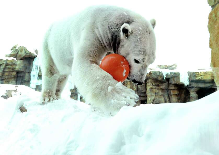 Nikita, a male polar bear at the Kansas City Zoo, plays with an orange ball after the recent snowfal