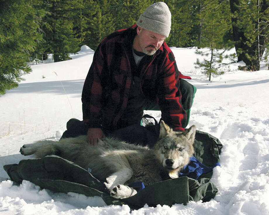 This Feb. 13, 2010 file photo provided by the Oregon Department of Fish and Wildlife shows wolf coordinator Russ Morgan with a female wolf pup just fitted with a radio collar in northeastern Oregon. For the past year, Oregon has been a wolf-safe zone, where a temporary court order bars wildlife officials from killing wolves that kill livestock. While wolf numbers has risen to 46, the number of livestock kills has not. Wolf advocates hope the Oregon experiment can spread elsewhere, especially Idaho, where rising numbers of wolves killed last year was accompanied by a spike in livestock attacks. Photo: AP