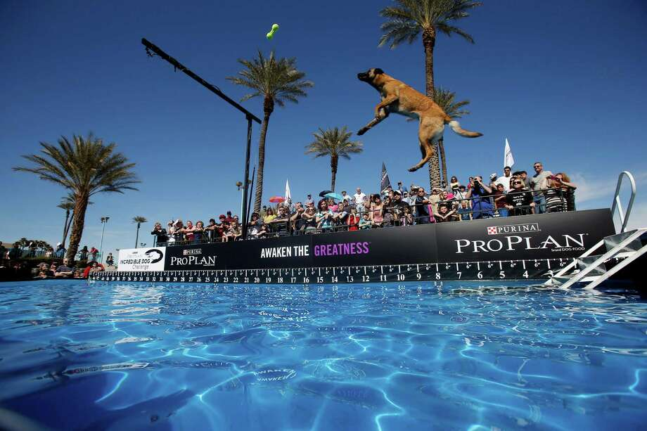 "3. Las Vegas:score of 63. NerdWallet wrote: ""Sin City is a great place for dogs, as evidenced by the city's 4.4 dog parks per 100,000 residents and affordable pet care. Desert Breeze Dog Park even has gated sections for small, medium and large-sized dogs, so you can let yours run off-leash in a safe environment."" Photo: AP"