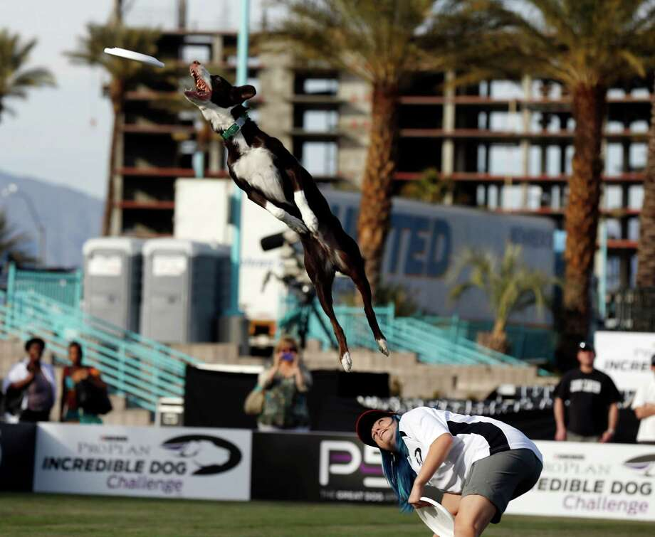 In this image provided by Purina Pro Plan, Purina hosts the Purina Pro Plan Incredible Dog Challenge at the Rio Hotel and Casino in Las Vegas on Saturday. Photo: AP