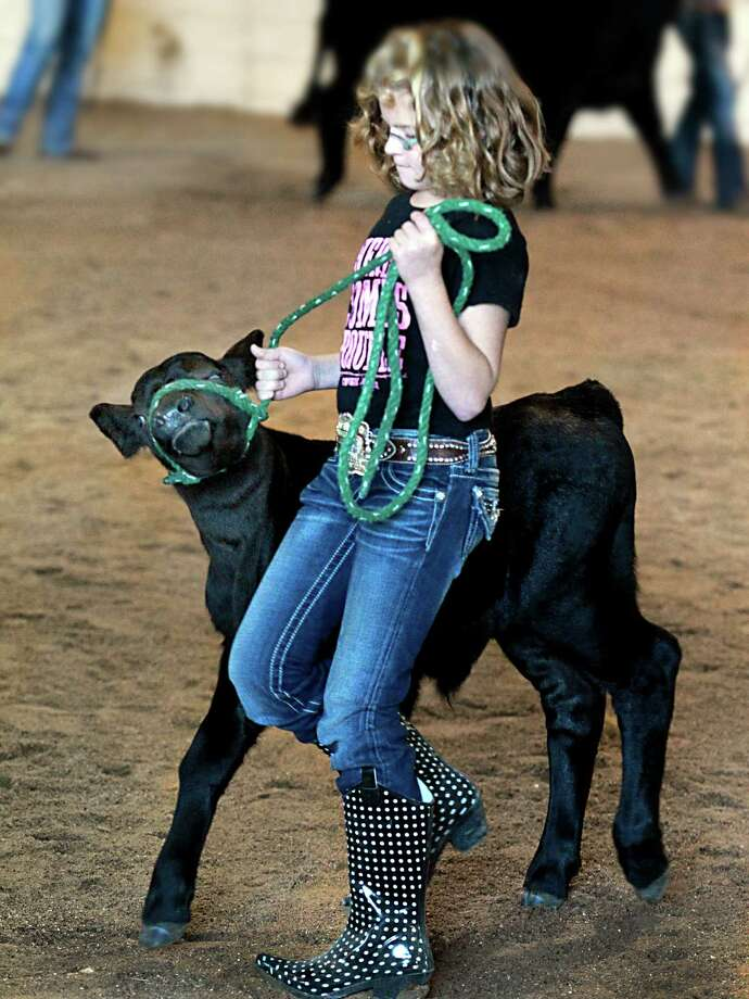 Eleven-year-old Taylor Kruppa has her hands full handling a calf that was was tagging along with a heifer shown by Shelbie Vanbeveren in the Victoria County Livestock Show sweepstakes heifer judging, Friday in Victoria, Texas. Photo: AP