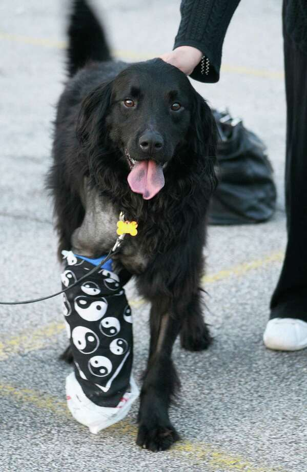 In this Friday Feb. 21, 2013 photo, Luke, a flat-coated retriever, sports a cast on his right front leg with a plastic bag and bandana, after being struck on Interstate 64 near Dunbar, in South Charleston, W.Va. Photo: AP