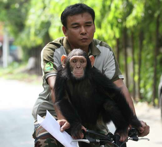 Male chimpanzee Ooh-ouu joins a Dusit Zoo staff member riding on a bicycle at the zoo in Bangkok, Thailand, Friday. Visitors can meet with more than 1,600 animals of various types of domestic and international wildlife at the zoo. Photo: AP