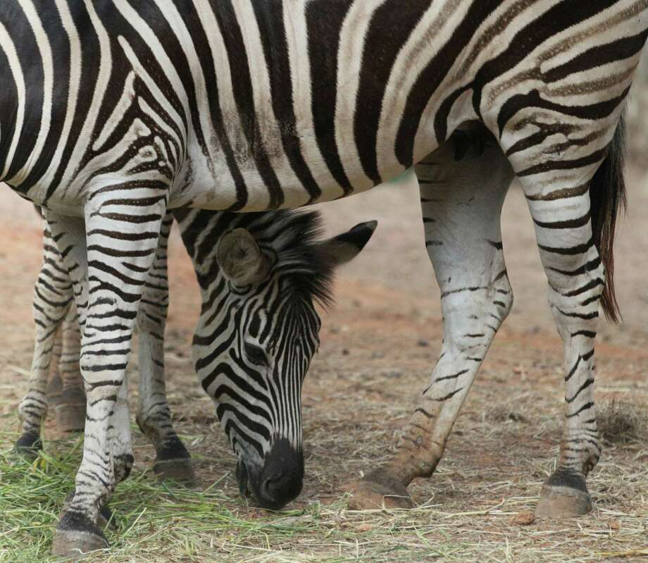 A pair of zebras stand close each other as they munch grass at the Dusit Zoo in Bangkok, Thailand, Friday. Visitors can meet with more than 1,600 animals of various types of domestic and international wildlife at the zoo. Photo: AP