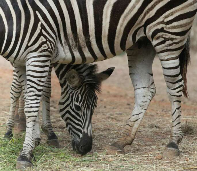 A pair of zebras stand close each other as they munch grass at the Dusit Zoo in Bangkok, Thailand, F