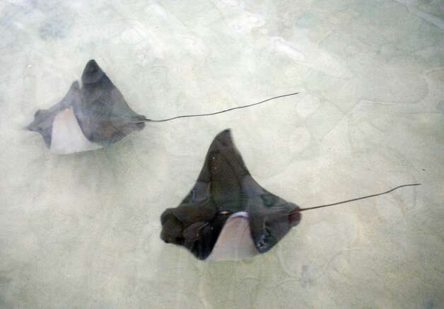Stingrays swim at the stingray bay exhibit at the Memphis Zoo in Memphis, Tenn., Friday. Photo: AP