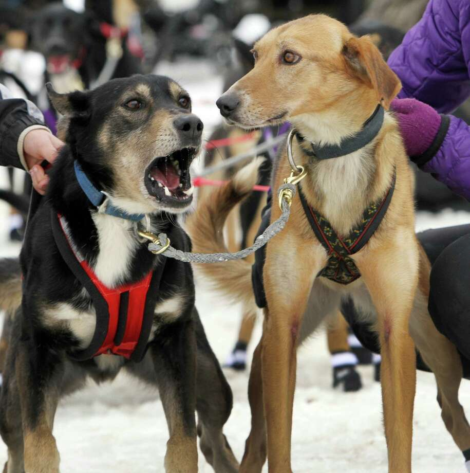 Lead dogs for Samual LaForce's team from New Brunswick, Canada get ready to race at the start of the World Championship Sled Dog Derby, Friday in Laconia, N.H. Photo: AP