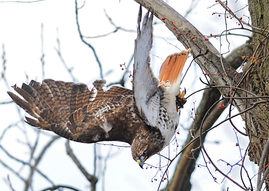 "Dave Giardenelli's red tail hawk ""Loca Loca"" dives from a tree branch for a squirrel on Friday Feb. 22, 2013 in Colonie, N.Y. Giardenelli uses the bird in his Falconry hobby which is the hunting of wild quarry in its natural state and habitat by means of a trained bird of prey. (Lori Van Buren / Times Union) Photo: Lori Van Buren"