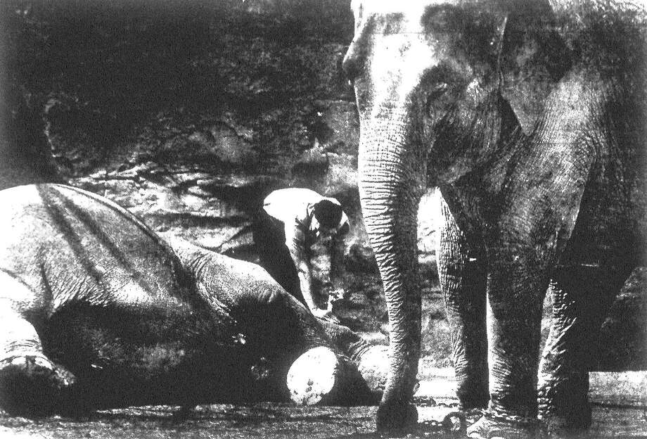 John Leggett, large mammal keeper at the San Antonio Zoo, gives Jenny the elephant a dose of medicine on her sore nose. The other elephant seems to be glad he's not on the receiving end. Published in the San Antonio Light March 10, 1983. Photo: File Photo
