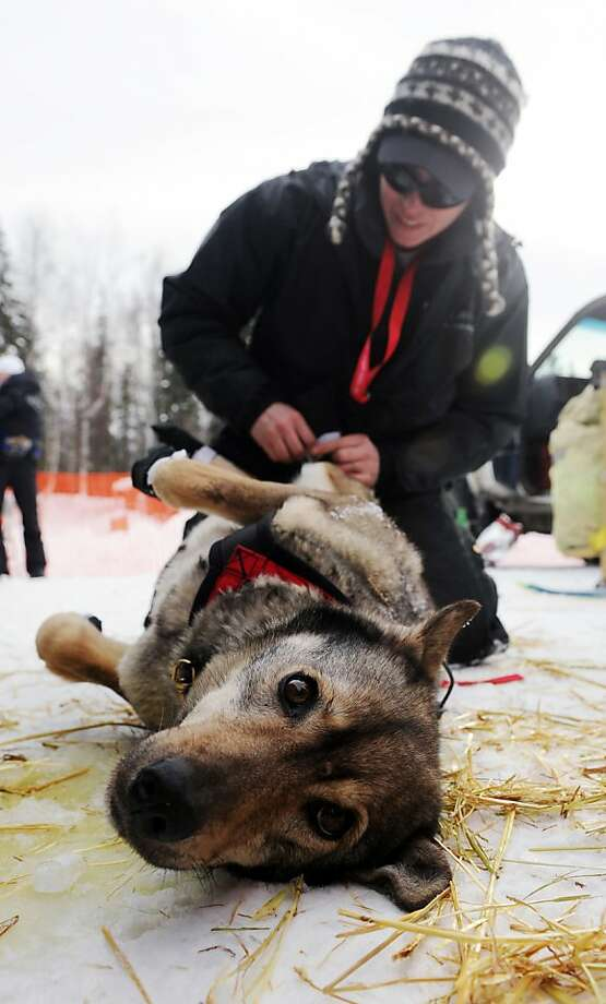 Katherine Keith puts booties on one of John Baker's sled dogs before the Iditarod Trail Sled Dog Race, Sunday, March 3, 2013, in Willow, Alaska. 65 teams will be making their way through punishing wilderness toward the finish line in Nome on Alaska's western coast 1,000 miles away. Photo: Bob Hallinen, Associated Press