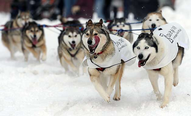 The dog team of Mike Ellis round the corner at 4th Avenue and Cordova Street during the ceremonial start of the Iditarod Trail Sled Dog Race on Saturday, March 2, 2013, in Anchorage, Alaska. The competitive portion of the 1,000-mile race is scheduled to begin Sunday in Willow, Alaska. (AP Photo/Anchorage Daily News, Bill Roth) Photo: Bill Roth, Associated Press