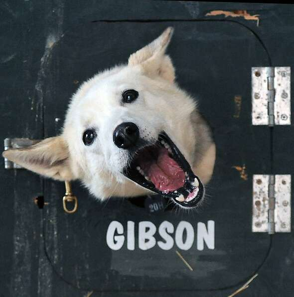 Honey peeks out of a dog truck at the ceremonial start of the Iditarod Trail Sled Dog Race on Saturd