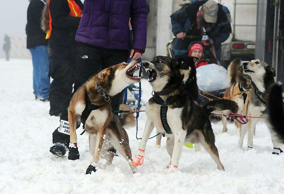 A pair of Michelle Phillips' team dogs prepare at the ceremonial start of the Iditarod Trail Sled Dog Race on Saturday, March 2, 2013, in Anchorage, Alaska. The competitive portion of the 1,000-mile race is scheduled to begin Sunday in Willow, Alaska. (AP Photo/Anchorage Daily News, Bob Hallinen) Photo: Bob Hallinen, Associated Press