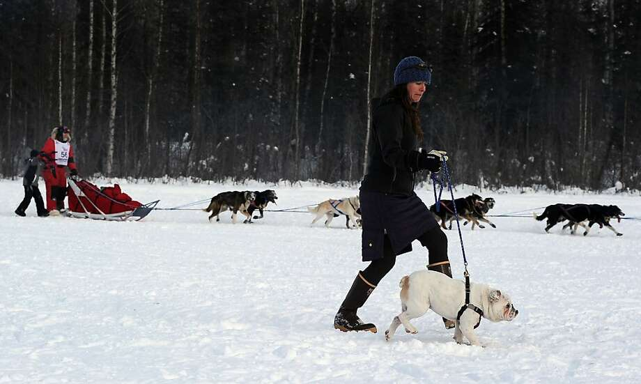 Krista Elias walks her English bull dog Winston as musher David Sawatzky passes by during the start of the Iditarod Trail Sled Dog Race, Sunday, March 3, 2013, in Willow, Alaska. 65 teams will be making their way through punishing wilderness toward the finish line in Nome on Alaska's western coast 1,000 miles away.  Photo: Bob Hallinen, Associated Press