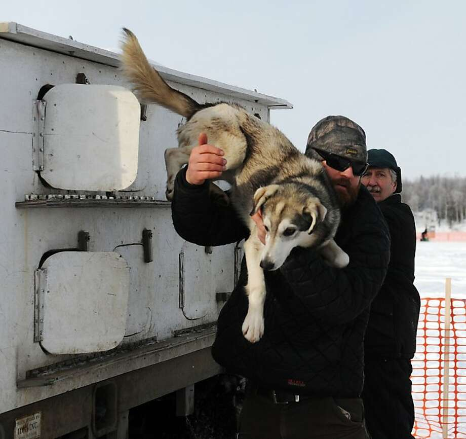 James Volek pulls one on his dogs out of a truck before the Iditarod Trail Sled Dog Race, Sunday, March 3, 2013, in Willow, Alaska. 65 teams will be making their way through punishing wilderness toward the finish line in Nome on Alaska's western coast 1,000 miles away. (AP Photo/The Anchorage Daily News, Bob Hallinen)  LOCAL TV OUT (KTUU-TV, KTVA-TV) LOCAL PRINT OUT (THE ANCHORAGE PRESS, THE ALASKA DISPATCH) Photo: Bob Hallinen, Associated Press