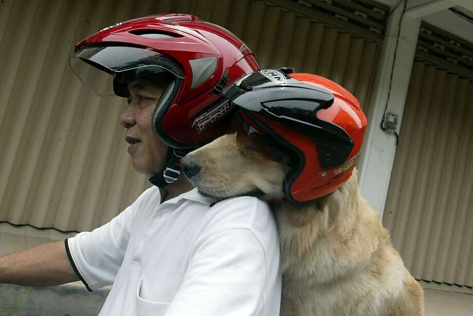 An Ace up his collar: Indonesian retiree Handoko Njotokusumo and his golden retriever Ace zip through traffic during a weekend motorcycle ride in Surabaya, Java. Photo: Juni Kriswanto, AFP/Getty Images