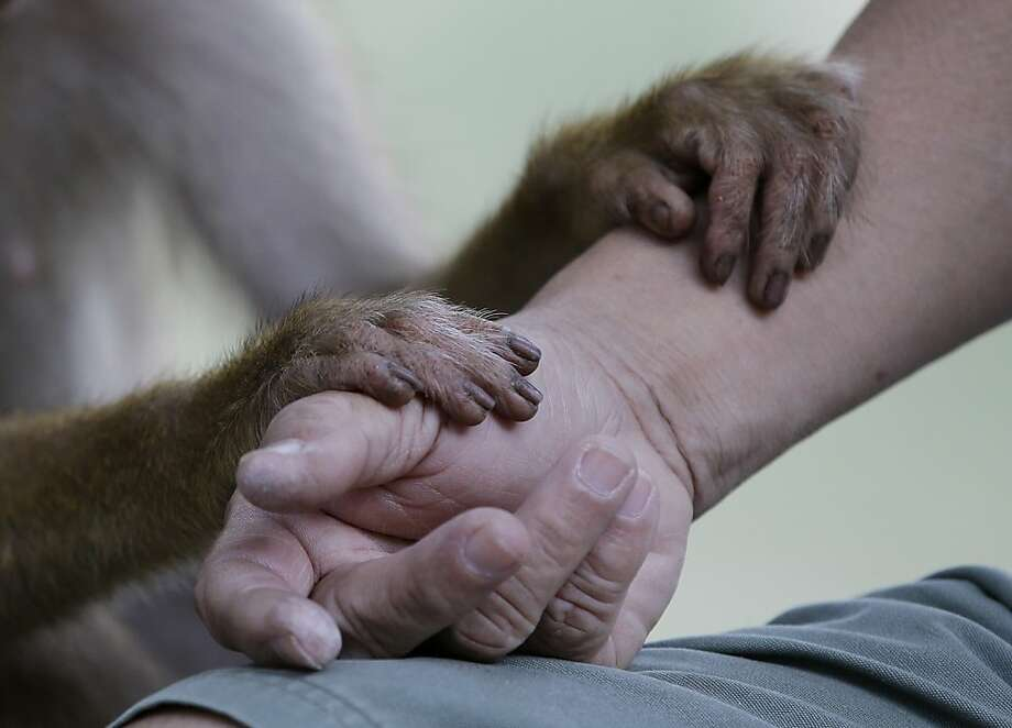 You going to eat that sandwich?A monkey hoping to be fed rests its hands on a man's arm at a park in a Kuala Lumpur suburb. Photo: Mark Baker, Associated Press