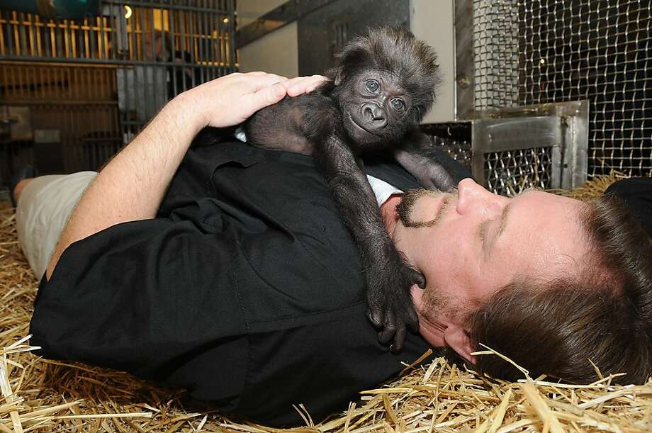 My, what big hands you have! This photo provided by the Cincinnati Zoo shows Ron Evans, Primate Center Team Leader at the zoo in Cincinnati, laying with Gladys the way a mother Western Lowland Gorilla would with her young.  Photo: David Jenike, Associated Press