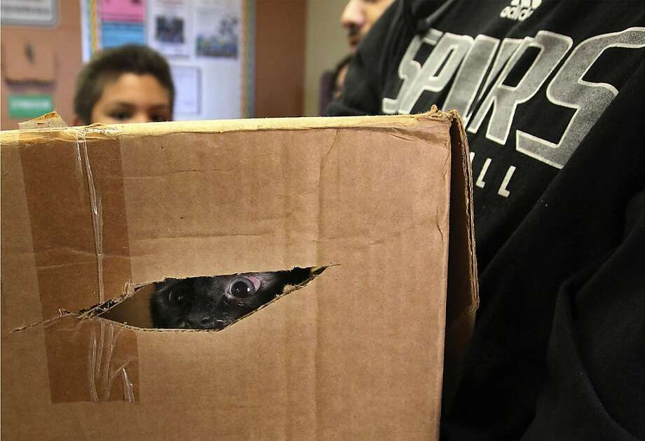 Phoebe in a fix:Hiding in a box will not save Phoebe from a trip to The Big Fix spay-and-neuter clinic at Miller's Pond Community Center in San Antonio. More than 250 pets received the procedure at no charge. Photo: Kin Man Hui, San Antonio Express-News