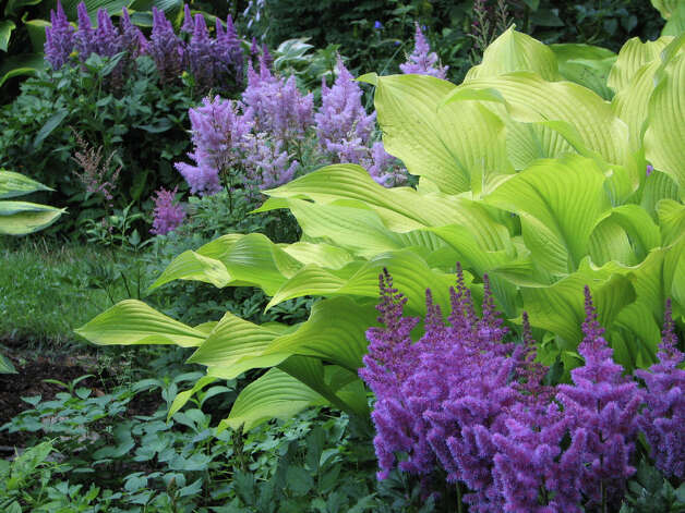 A dramatic stand of astilbe, accompanied by hosta, thrives in a moist garden. Photo: Contributed Photo