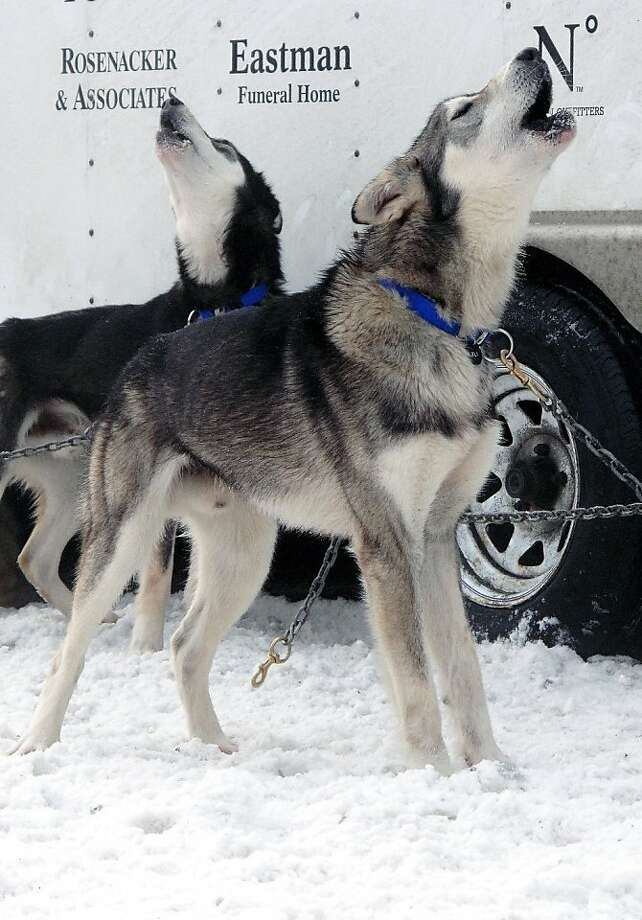 Dogs on the team of musher Scott Janssen howl before the ceremonial start of the Iditarod Trail Sled Dog Race Saturday, March 2, 2013, in Anchorage, Alaska. The competitive portion of the 1,000-mile race is scheduled to begin on Sunday in Willow, 50 miles to the north. (AP Photo/Rachel D'Oro) Photo: Rachel D'Oro, Associated Press