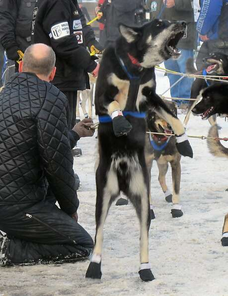 A lead dog on musher Martin Buser's team rears up and barks at the ceremonial start of the 2013 Idit
