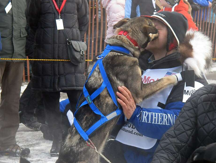 A lead dog licks four-time champion Martin Buser during the ceremonial start of the 2013 Iditarod Trail Sled Dog Race in Anchorage, Alaska on Saturday, March 2, 2013. The race, which will take mushers and dog teams about a thousand miles across the Alaska wilderness, starts Sunday, March 3, 2013, in Willow, Alaska. (AP Photo/Mark Thiessen) Photo: Mark Thiessen, Associated Press