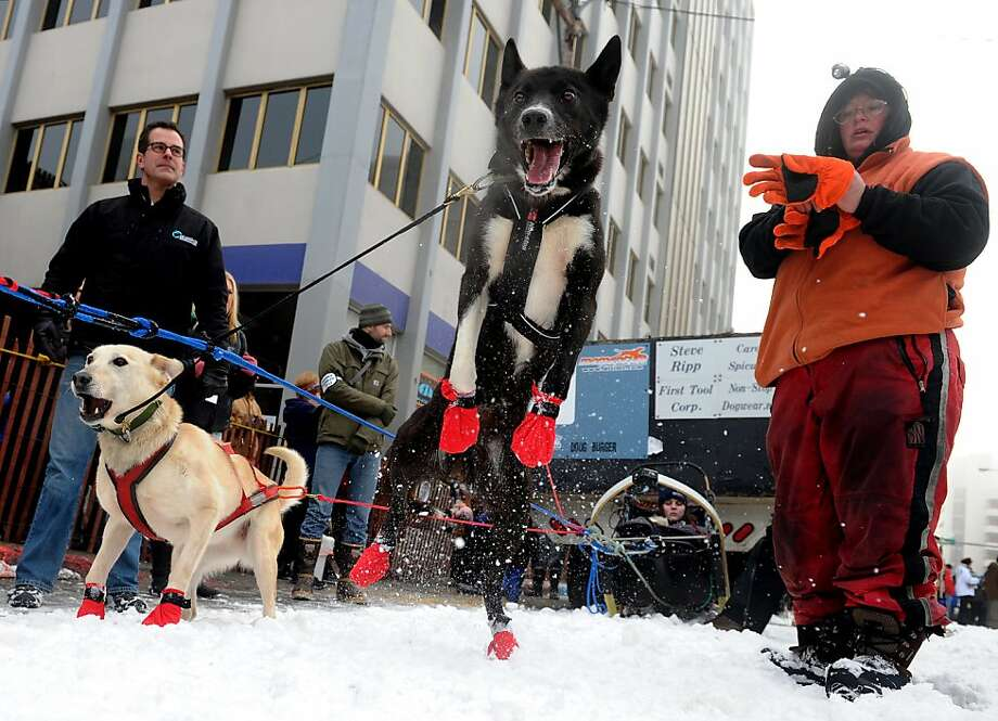 Ramey Smyth's dogs prepare at the ceremonial start of the Iditarod Trail Sled Dog Race on Saturday, March 2, 2013, in Anchorage, Alaska. The competitive portion of the 1,000-mile race is scheduled to begin Sunday in Willow, Alaska. (AP Photo/Anchorage Daily News, Bob Hallinen) Photo: Bob Hallinen, Associated Press