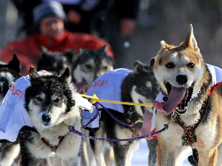 Dogs on the team of Anna Berrington run in the ceremonial start of the Iditarod Trail Sled Dog Race Saturday, March 2, 2013, in Anchorage, Alaska. The competitive portion of the 1,000-mile race is scheduled to begin Sunday in Willow, Alaska. (AP Photo/Dan Joling) Photo: Dan Joling, Associated Press