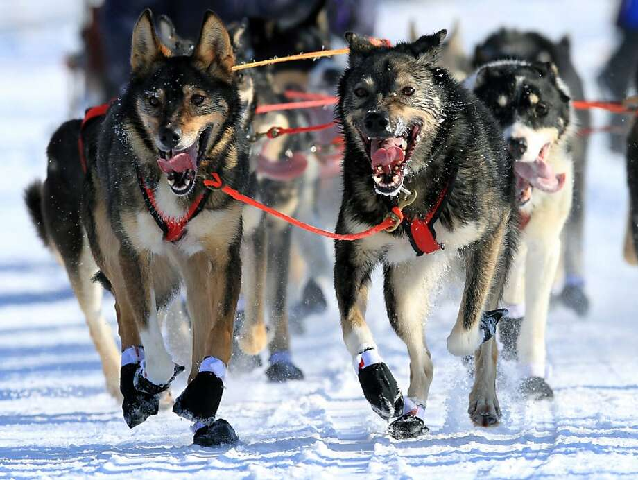 Lead dogs on the team of Louie Ambrose run during the ceremonial start of the Iditarod Trail Sled Dog Race Saturday, March 2, 2013, in Anchorage, Alaska. The competitive portion of the 1,000-mile race is scheduled to begin Sunday in Willow, Alaska. (AP Photo/Dan Joling) Photo: Dan Joling, Associated Press