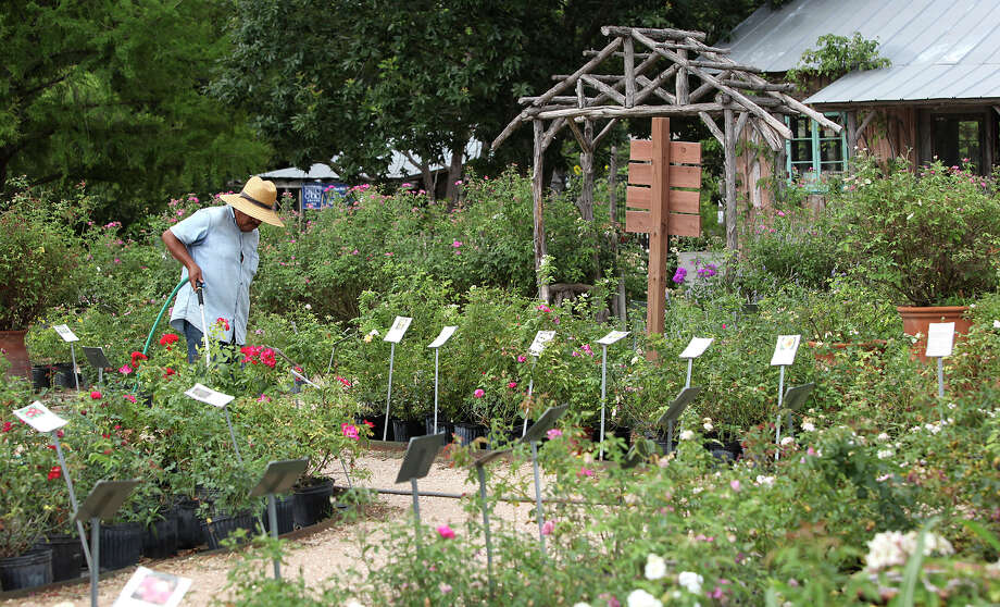 Max Cruz makes his watering rounds Thursday June 21, 2012 at The Antique Rose Emporium. The emporium at the San Antonio location will be closing mid-July. Cruz has worked at the emporium for about 12 years. Photo: Julysa Sosa, San Antonio Express-News / SAN ANTONIO EXPRESS-NEWS