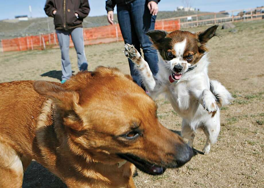 The terror of the off-leash park: Pippa's owners admit that their snarling darling always picks on the bigger dogs - like poor Missy here - at the Paws-abilities Place dog park in Richland, Wash. So here's an idea: KEEP HER ON THE LEASH. And some obedience lessons wouldn't hurt either. Photo: Kai-Huei Yau, Associated Press