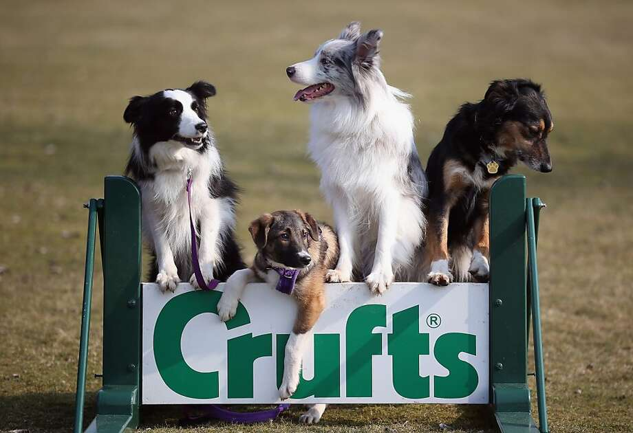 A breed apart: Of the four dogs enlisted for a photo call for the Crufts dog show in Birmingham, England, Collie purebreds Holly, Frostie and Jimmy do what they're told and stand on the sign. Tiff the mutt, however, exercises his right to be different. Photo: Christopher Furlong, Getty Images